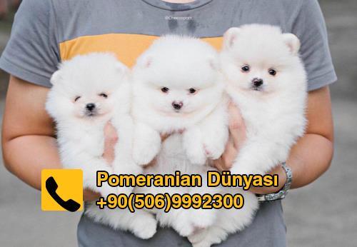 Pomeranian puppy for sale in turkey