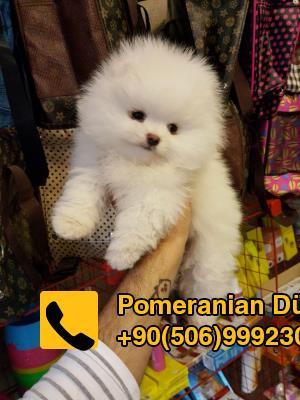 Satılık Pomeranian Teacup Yavruları