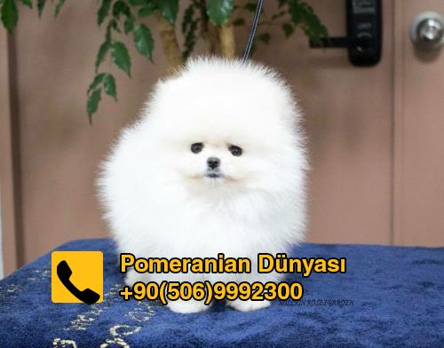 Pomeranian Dog For Sale In Istanbul